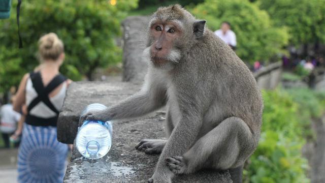Wisata Sangeh Bali, Menyapa Sang Kera (liputan6.com)