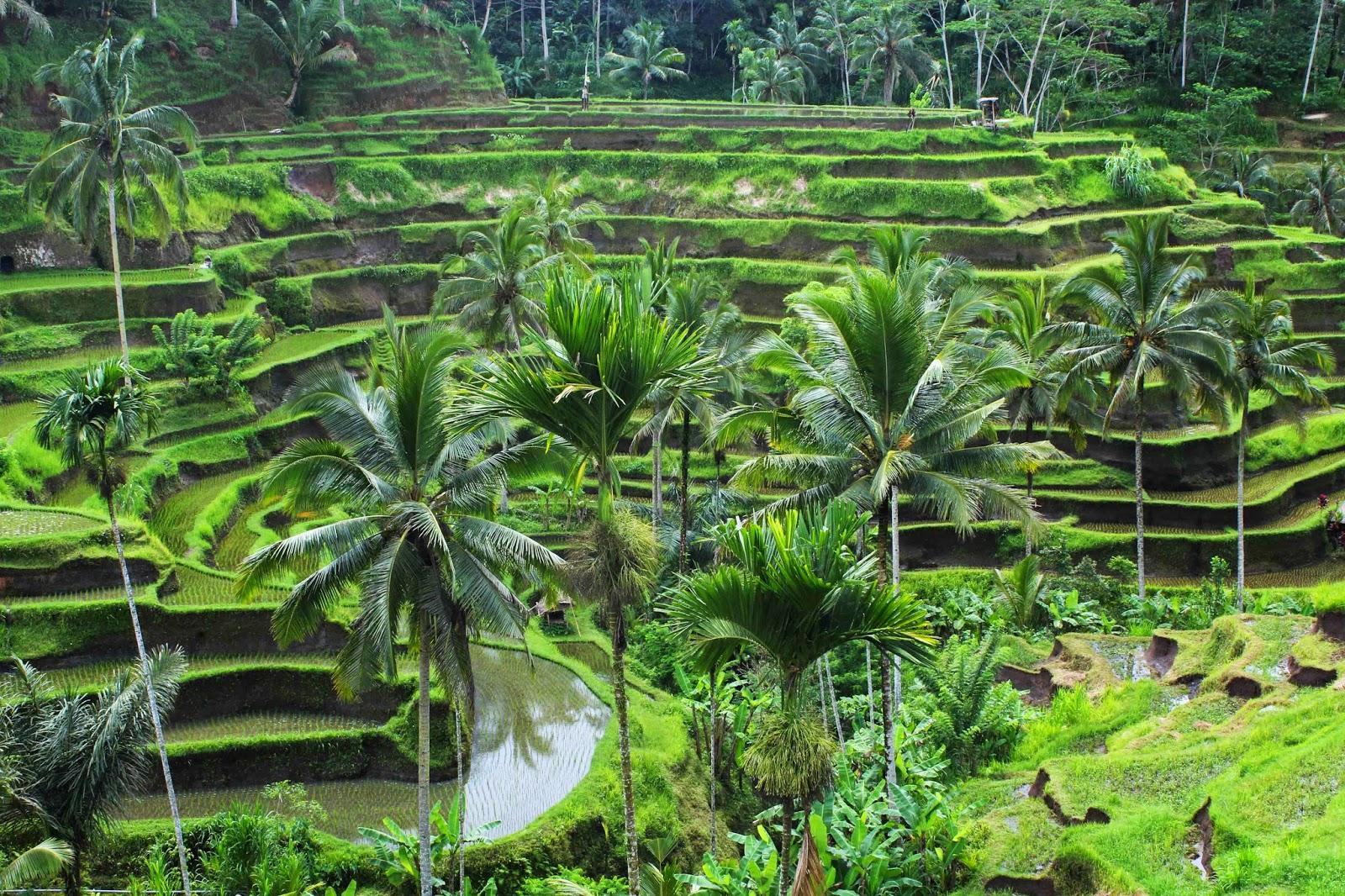 Alam Hijau yang Memukai sebagai Tempat Wisata Ubud Bali (jalan2trus.com)