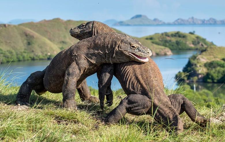 Melihat Atraksi Wisata Pulau Komodo (news.detik.com)