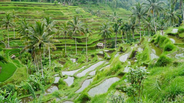 Panorama Indah Persawahan di Wisata Ubud Bali (Hot-Liputan6.com)