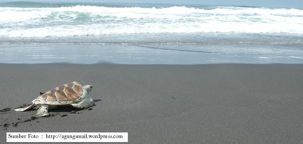 Obyek Wisata Pantai Sindang Kerta Penetasan Penyu Tasikmalaya