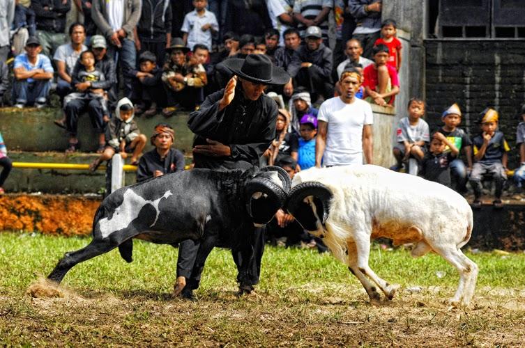 Adu Domba Tangkas- Wisata Menarik di Bandung (eserything is awesome)