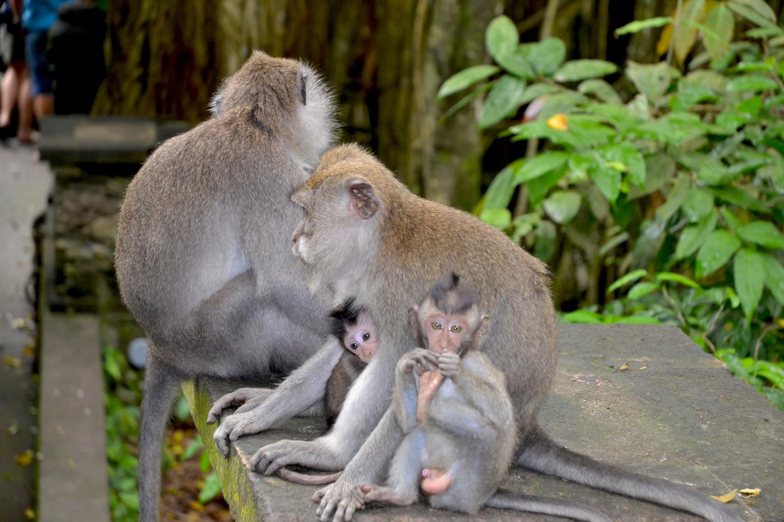 Tempat Wisata Sangeh Bali Banyak Dihuni Monyet (travelingyuk.com)